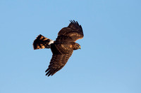 NORTHERN HARRIER 14-10-2777401
