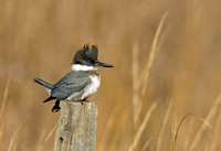BELTED KINGFISHER 09-01-030014