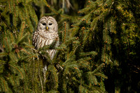 BARRED OWL 17-02-19687