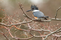 BELTED KINGFISHER 15-04-1081800