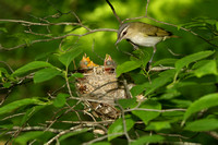 RED EYED VIREO 12-06-1148941