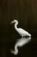 GREAT EGRET 15-09-27448