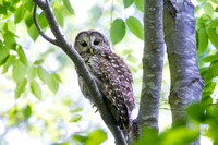 BARRED OWL 16-06-012832