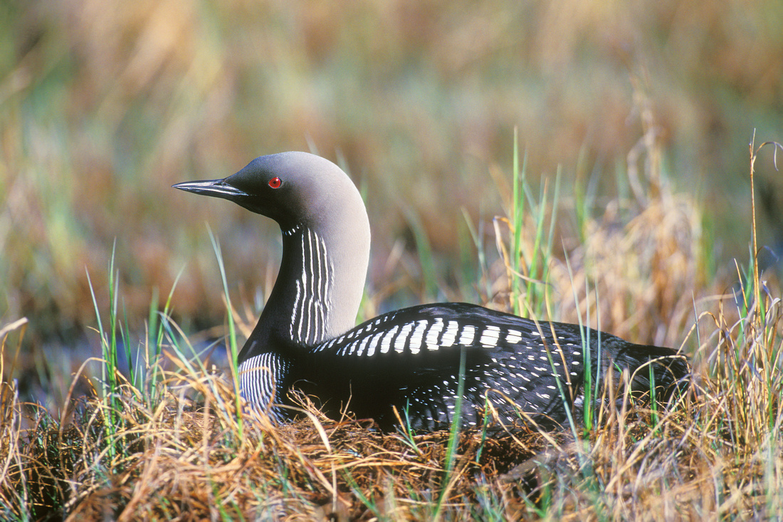 PACIFIC LOON 00-18
