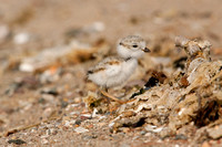 PIPING PLOVER 10-07-0625476