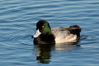 GREATER SCAUP 12-01-0944483