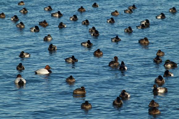 Rhode Island Waterfowl