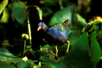 PURPLE GALLINULE 00-08