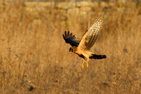 NORTHERN HARRIER 11-12-1342448
