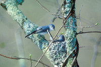 BG GNATCATCHER 00-05