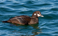 HARLEQUIN DUCK 09-03-0422502