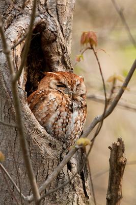 E SCREECH OWL 10-05-0122525