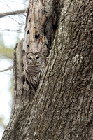 BARRED OWL 17-04-272425