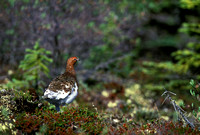 WILLOW PTARMIGAN 00-07
