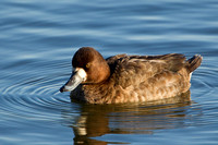 GREATER SCAUP 12-01-0944460