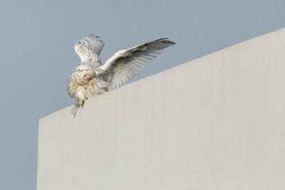 SNOWY OWL 13-12-2169548