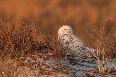 SNOWY OWL 13-12-2769314