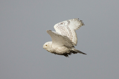 SNOWY OWL 13-12-2269442