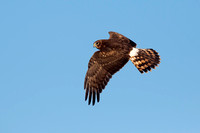 NORTHERN HARRIER 14-10-2777388
