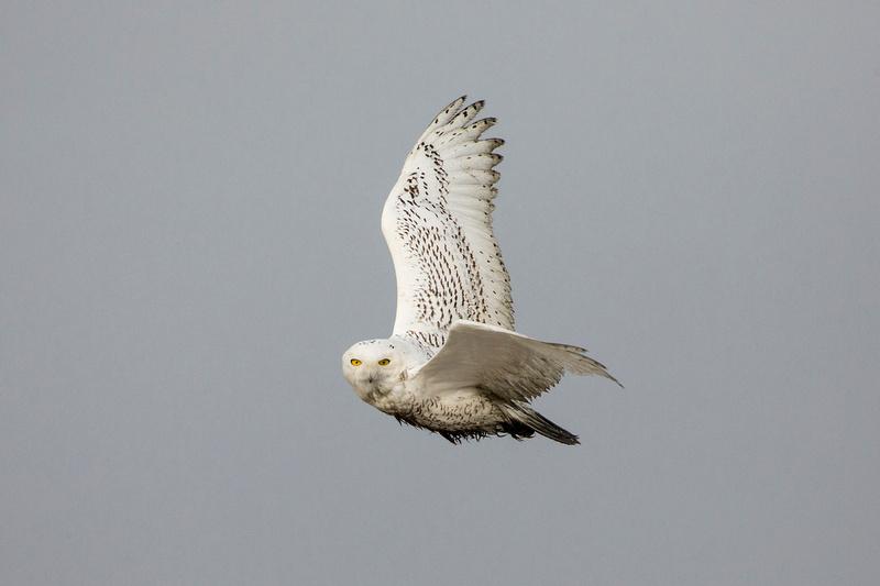 SNOWY OWL 13-12-2269448