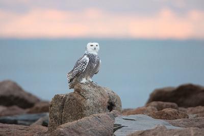 SNOWY OWL 13-11-2967986