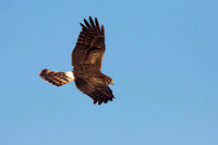 NORTHERN HARRIER 14-10-2777398