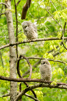 BARRED OWL 17-05-152260