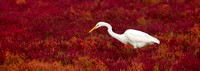 GREAT EGRET 16-09-2878