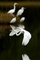 GREAT EGRET 15-09-27440