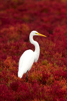 GREAT EGRET 16-09-2871