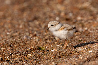 PIPING PLOVER 10-07-0625473