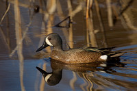 BLUE WINGED TEAL 15-04-1181460