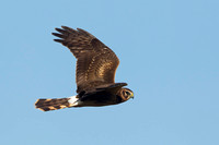 NORTHERN HARRIER 14-10-0376533