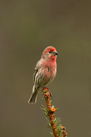 HOUSE FINCH 13-04-2962915
