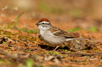 CHIPPING SPARROW 13-04-2162385