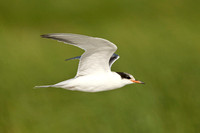 COMMON TERN 13-08-1163872