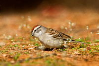 CHIPPING SPARROW 13-04-2162392
