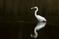 GREAT EGRET 15-09-27442